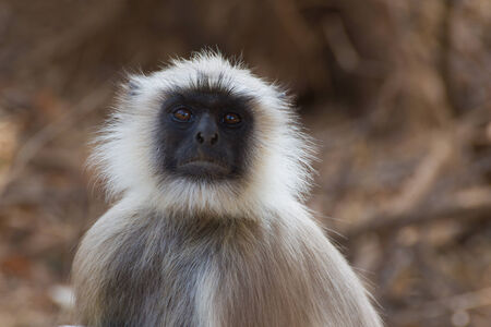 gray langur: Gray Langur or Hanuman Langur (Semnopithecus) also called Leaf Monkey