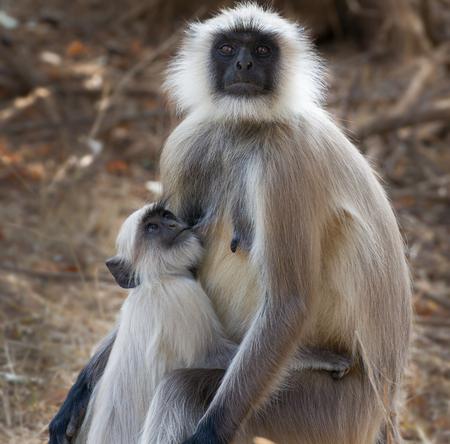 gray langur: Gray Langur or Hanuman Langur (Semnopithecus) also called Leaf Monkey, mother with baby