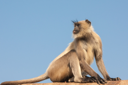 Gray langurs or Hanuman langurs, the most widespread langurs of the Indian Subcontinent, are a group of Old World monkeys constituting the entirety of the genus Semnopithecus Stock Photo