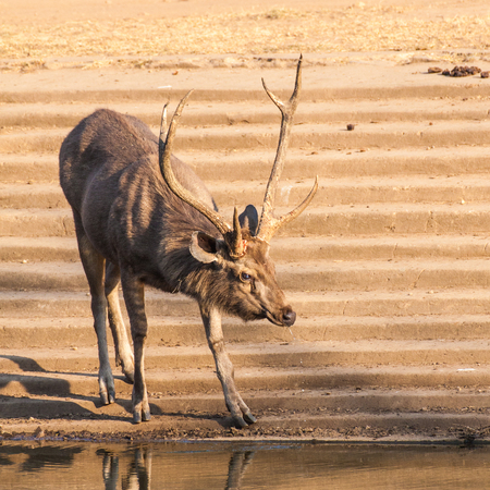The sambar (Rusa unicolor) is a large deer native to the Indian subcontinent. The name sambar is also sometimes used to refer to the Philippine deer, called the Philippine sambar and the Javan rusa, called the Sunda sambar. Stock Photo
