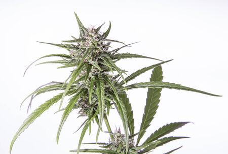 Geïsoleerde marihuana plant met paarse toppen. Stockfoto - 26455463