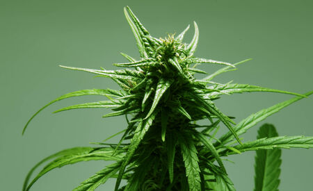 Geïsoleerde marihuana plant met paarse toppen. Stockfoto - 26455470
