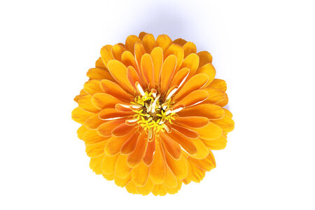 Marigold Bloom Isolated with white background Stock Photo