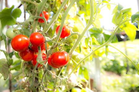 Ripe tomatoes on the vine in a greenhouse. Stock Photo