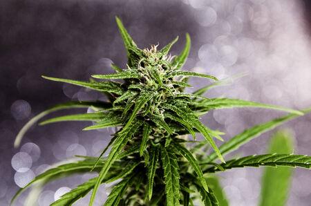 Geïsoleerde marihuana plant met paarse toppen.
