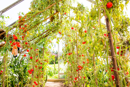 Ripe tomatoes on the vine in a greenhouse. photo
