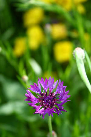 The violet flower on green graas background