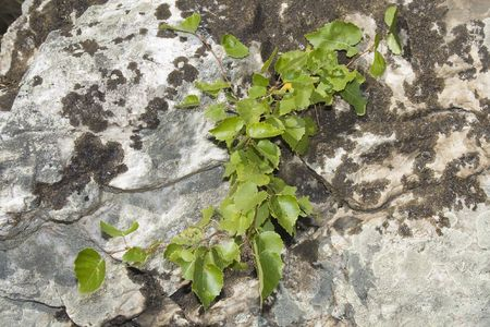 repetitious: birch stick grow on the rock crack Stock Photo