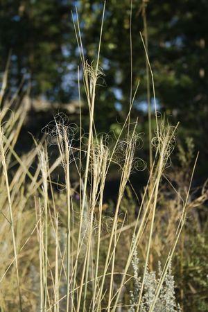 sapless: L'avvizzito steli di erba con il viticcio scuro sfondo sfocato