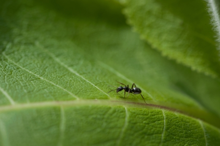 Black ant on a green leaf Stock Photo - 21379808