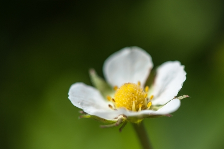 strawberry flower photo