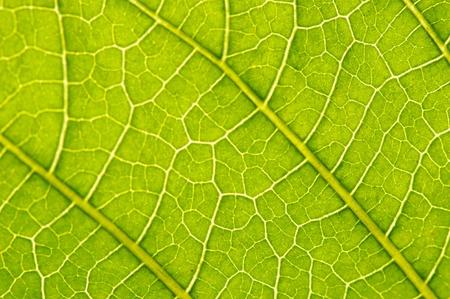 datura suaveolens leaf photo