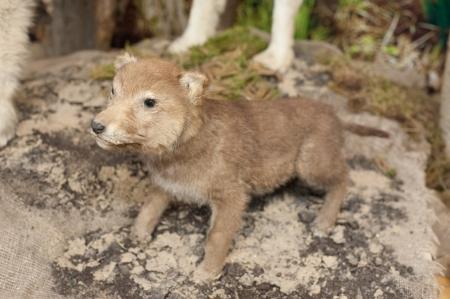 wolf-cub photo