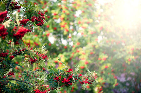 european rowan: Rowan tree with red berry Stock Photo