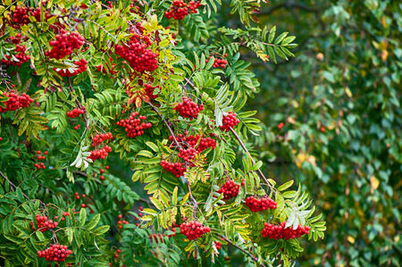 european rowan: Rowan tree with red berry Stock Photo