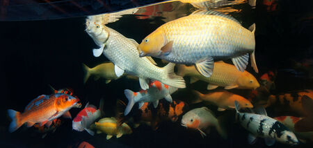 chagoi: Different colorful koi fishes swimming in aquarium