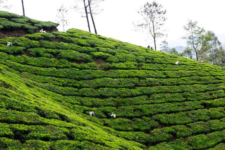 Tea plantations around Munnar, tea estate hills in Kerala state, Idukki district, India Stock Photo