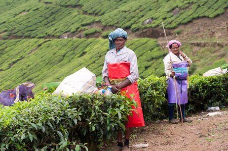 darjeeling: Women picking the tea at tea plantation around Munnar, tea estate hills in Kerala, Idukki district, India Editorial