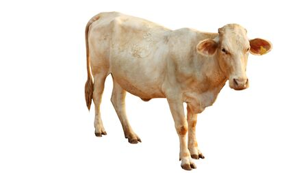 Chalore Cattle Breed Female Cow is set on a white background.