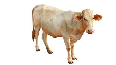 La vache femelle de race bovine Chalore est située sur un fond blanc.