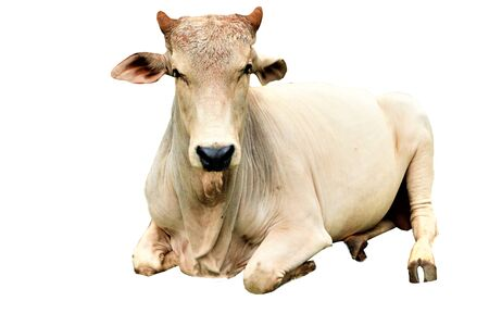 Cow lying on a white background
