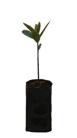 Avocado soft tree in a separate pot on a white background.