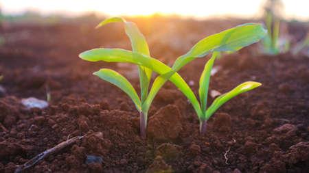 Corn seedlings with sunlight Thailand 免版税图像