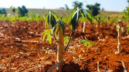 farm Cassava seedlings Planting period 2 months Banque d'images