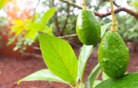 Avocado balls in the stem, green leaves