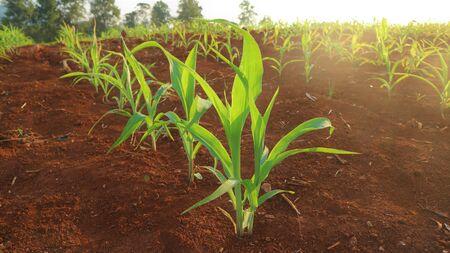 Corn seedlings, 5 weeks old