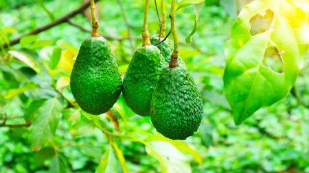 The 8th avocado species in the avocado breeding park, Tak, Thailand