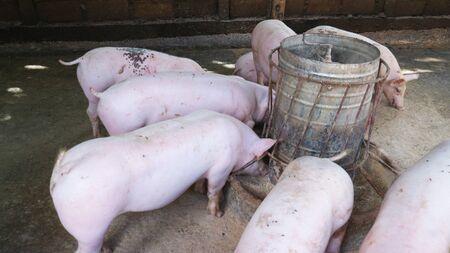 Many very white pigs in the pen Standard-Bild