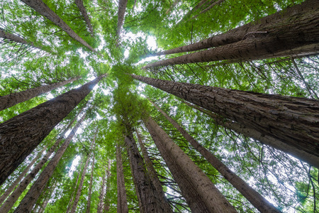Up-tree shot of giant Californian redwoods forest in the Otway Ranges, where many Sequoia trees were planted in 1939, along the Great Ocean Road in Victoria, Australia during daytime Stock Photo - 55262340