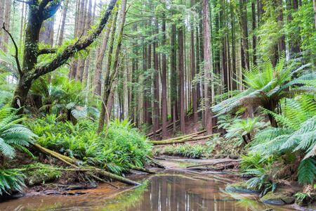 Beech Forest with many Sequoia trees and river in the Otways Ranges along the Great Ocean Road, Australia Stock Photo