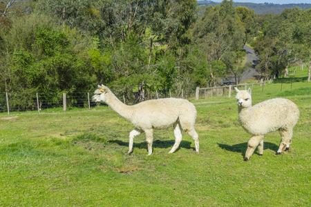 View of two fluffy Huacaya alpacas with cuddly look in a farm