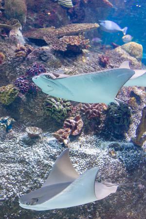 Two stingrays gliding through the water in Sea Life Aquarium in Melbourne, Australia