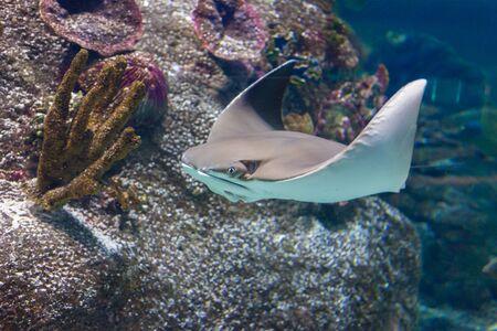 Stingray gliding through the water in Sea Life Aquarium in Melbourne, Australia Stock Photo
