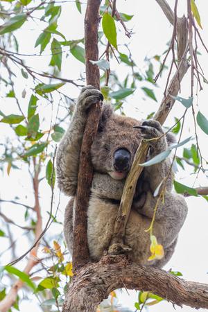 Wild koala sleeping on a eucalyptus tree at Great Otway National Park in Australia during daytime