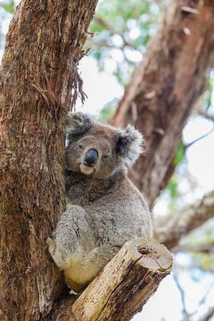 Wild koala on a eucalyptus tree at Great Otway National Park in Australia during daytime