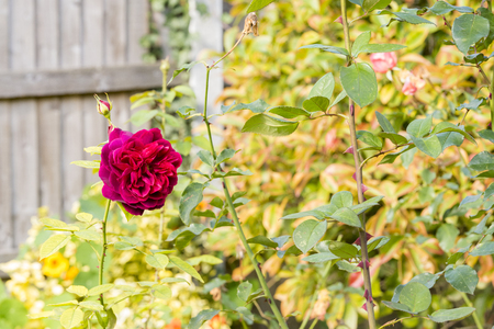 A red rose on a bush in a rose garden with wooden fence Stock Photo