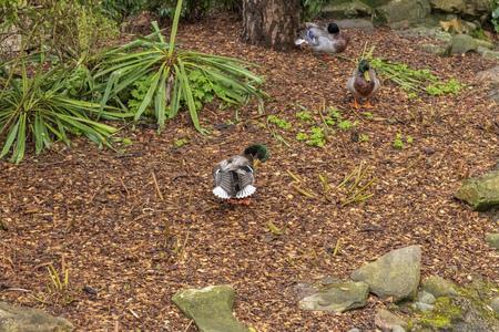 Male Mallard Duck in Elveden Forest