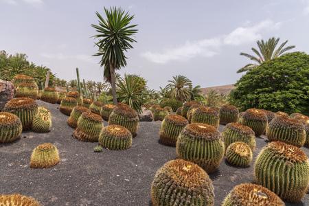 Cactus plantation in Fuerteventura, Spain