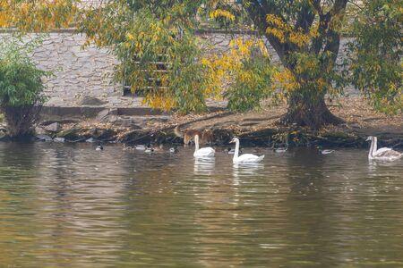 Group of swans on Vltava River in Prague