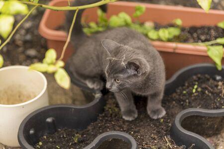 Little kitten is sniffing flower pot and grass