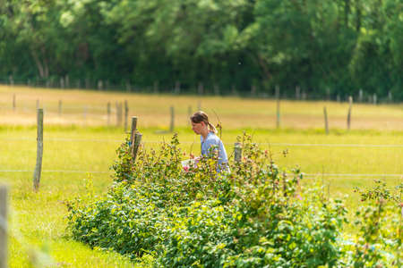 Young female picking fresh farm raspberries in field in Sevenoaks, Kent