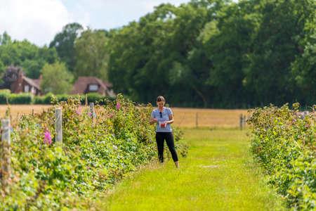 Young female picking fresh farm raspberries in field in Sevenoaks, Kent 免版税图像
