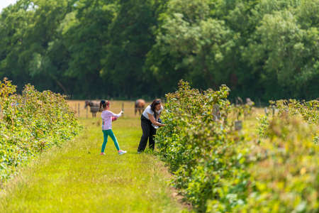 Young female and her daughter are picking fresh farm raspberries in field in Sevenoaks, Kent