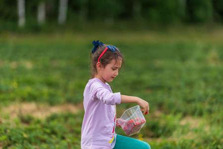 Little girl picking fresh farm strawberries in field in Sevenoaks, Kent