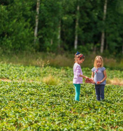 Two little girls picking fresh farm raspberries in field in Sevenoaks, Kent