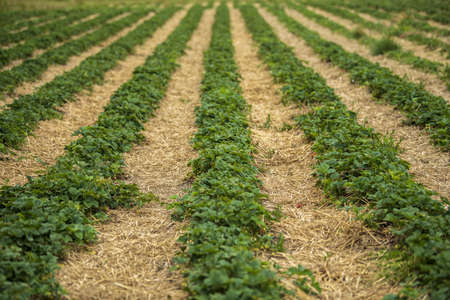 Green strawberry bushes are planted in even rows in the field on a sunny day Kent, UK